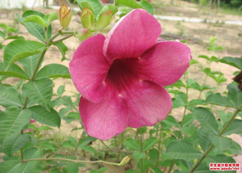 紫蝉花的花期、形态特征、生长习性和园林用途