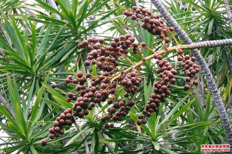 百合竹的形态特征、生长习性和园林用途