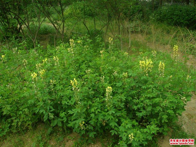 百脉根的花期、形态特征、生长习性和园林用途