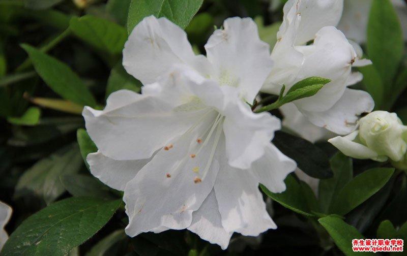 白花杜鹃的花期、形态特征、生长习性和园林用途