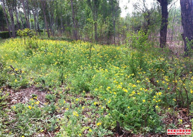 白屈菜的花期、形态特征、生长习性和园林用途