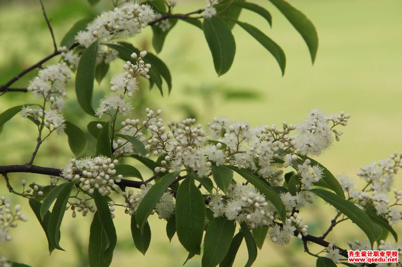 白檀的形态特征、生长习性和园林用途