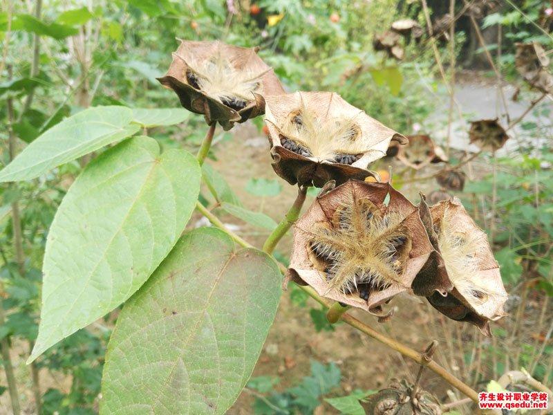 昂天莲的花期、形态特征、生长习性和园林用途