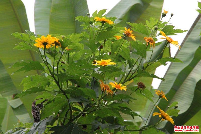 肿柄菊的花期、形态特征、生长习性和园林用途