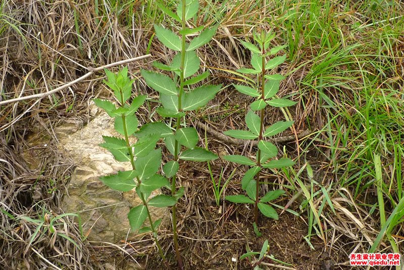 桔梗的花期、形态特征、生长习性和园林用途