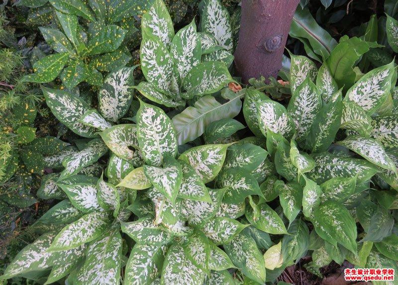 花叶万年青(黛粉叶)的形态特征、生长习性和园林用途