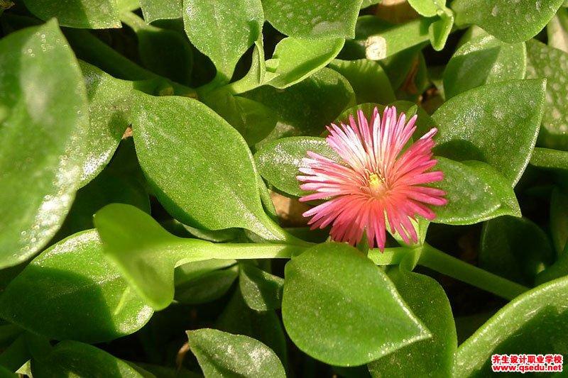 心叶日中花的花期、形态特征、生长习性和园林用途