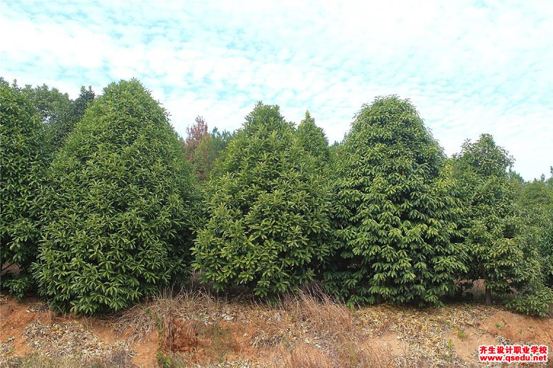 棱角山矾的花期、形态特征、生长习性和园林用途