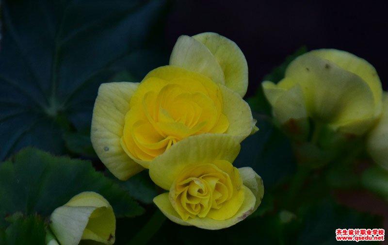 丽格秋海棠的花期、形态特征、生长习性和园林用途