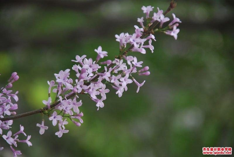 羽叶丁香的花期、形态特征、生长习性和园林用途