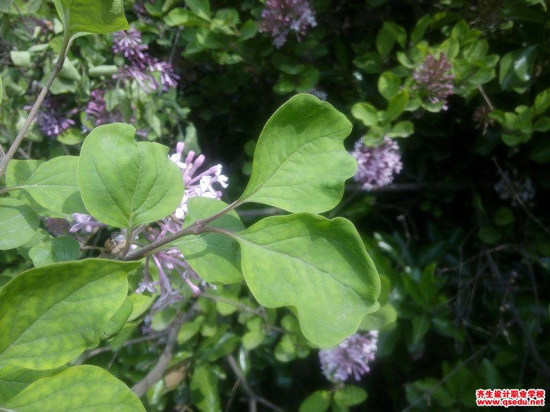 小叶巧玲花的花期、形态特征、生长习性和园林用途