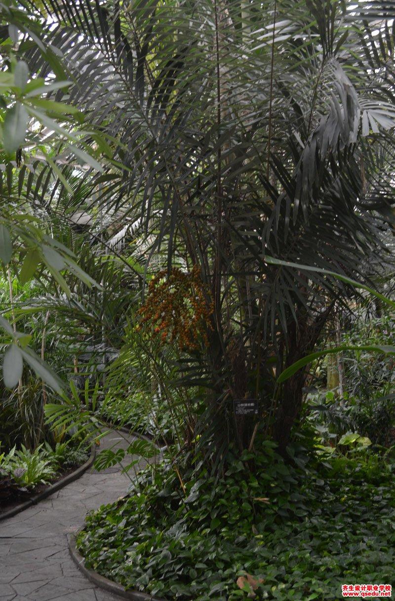 山棕的形态特征、生长习性和园林用途