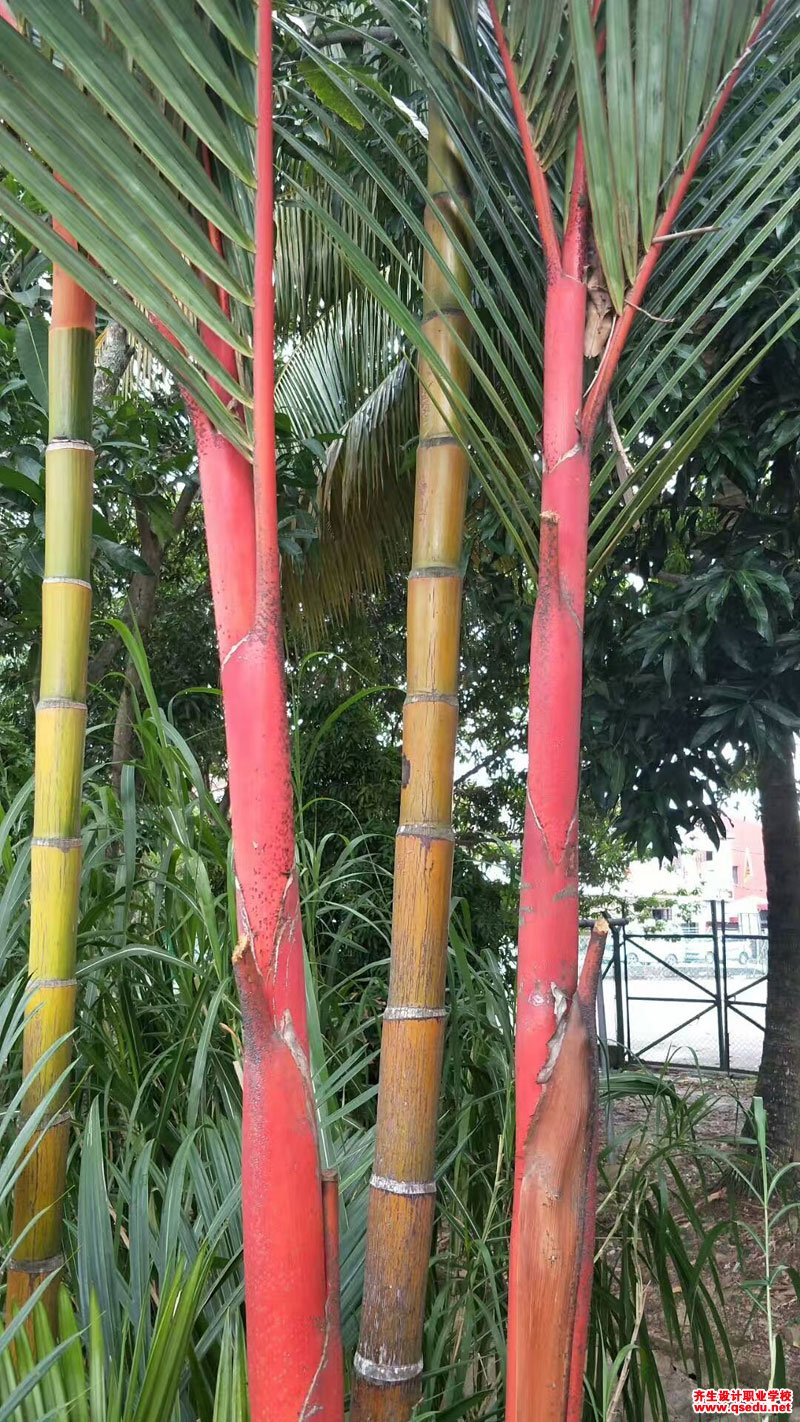 红槟榔的形态特征、生长习性和园林用途