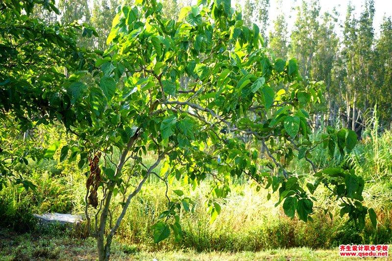龙桑树的形态特征、生长习性和园林用途
