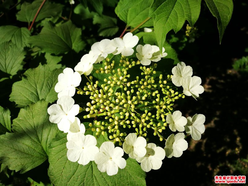 天目琼花的花期、形态特征、生长习性和园林用途