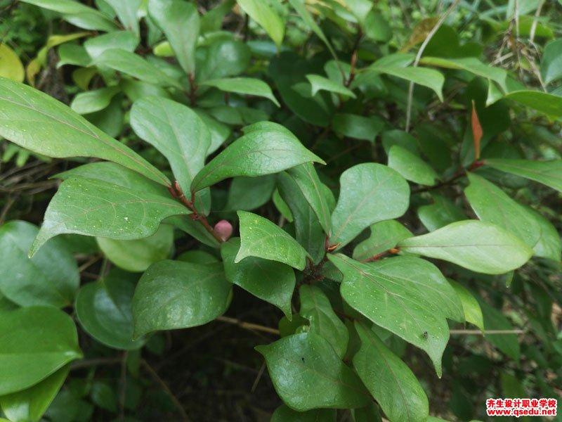 琴叶榕的形态特征、生长习性和园林用途