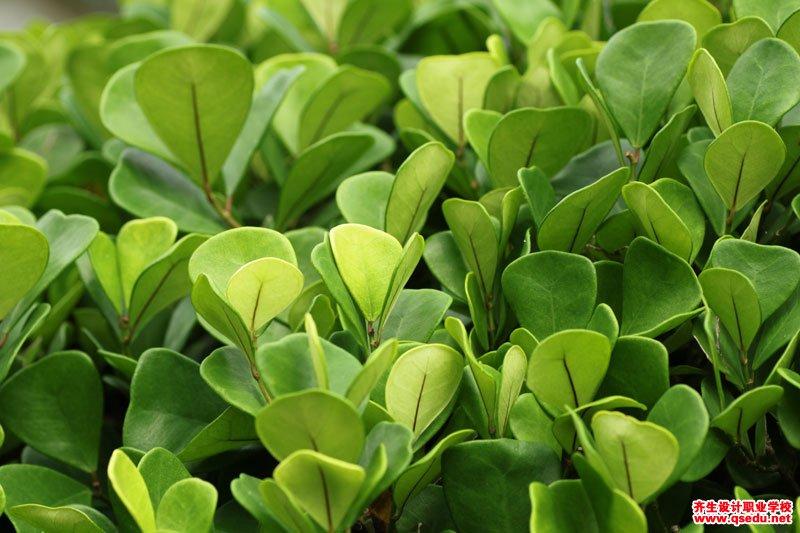 三角榕的形态特征、生长习性和园林用途